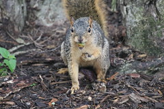 91/365/3743 (September 10, 2018) - Squirrels in Ann Arbor at the University of Michigan on September 10th, 2018 (cseeman) Tags: gobluesquirrels squirrels annarbor michigan animal campus universityofmichigan umsquirrels09102018 summer eating peanut septemberumsquirrel 2018project365coreys yearelevenproject365coreys project365 p365cs092018 356project2018 foxsquirrels easternfoxsquirrels michiganfoxsquirrels universityofmichiganfoxsquirrels