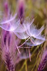 Unreal .. (Mikaela Dana) Tags: dandelion nature outdoor fineart summer nikon flickr colours closeup purple grass june unreal delicate soft