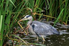 Heron (NiiiiiJ) Tags: heron heronfishing wadingbirds rivertrent attenborough nature reserve nottinghamshire wildlife trust niiiiij nottinghamshirewildlifetrust attenboroughnaturereserve