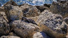 Lizards in Key Biscaine (Ruggero Poggianella Photostream ©) Tags: keybiscayne usa usa2018 florida lizard lizards