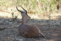 Impala (Pixi2011) Tags: antelope krugernationalpark africa wildlife nature animals