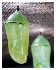 The Next Phase of Life - Monarch Pupa or Chrysalis (GAPHIKER) Tags: monarch chrysalis metamorphis metamorphosis danausplexippus pupa caterpillar butterfly