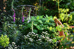 May in the Garden (Mark Wordy) Tags: mygarden flowers foxgloves digitalispurpurea