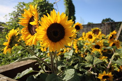 Sunflowers (charliejb) Tags: 2018 wildplace flowers sunflowers yellow cribbscauseway patchway