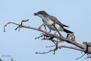 Eastern Kingbird-18-12