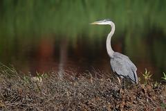 Great Blue Heron (D.Leslie) Tags: avian bird hfg hamilton heron nature naturallight