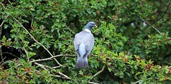 J78A1576 (M0JRA) Tags: birds flight flying wildlife rats walks gardens parks fields trees lakes ponds ducks swans rspb