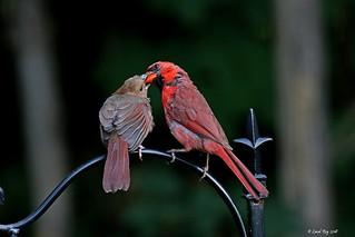 1.30050 Cardinal rouge / Cardinalis cardinalis cardinalis / Northern Cardinal