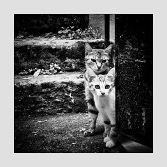 Chats Parisiens . (kitchou1 Thanx 4 UR Visits Coms+Faves.) Tags: france paris street cat city animals bw europe exterior world nb
