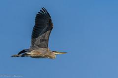Great Blue Heron [Ardea herodias] (Paul Whalen) Tags: ardeaherodias bc burton canada greatblueheron kootenays tamron150600mmf63g2 bif