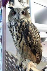 Bonnie (billnbenj) Tags: barrow cumbria owl eurasianeagleowl raptor birdofprey