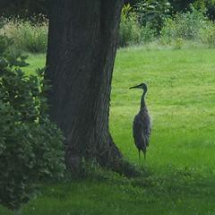 silent sentinel (humbletree) Tags: madisonwisconsin september sandhillcrane