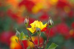 In the name of the rose (Baubec Izzet) Tags: baubecizzet pentax bokeh flower roses red yellow nature flickrunitedaward