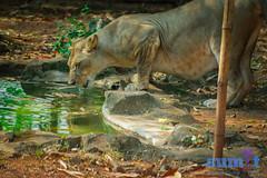 """Radha"" the lioness form ""Nandankanan Zoological Park"" (monu.87) Tags: lioness nikon d3400 70300mmvr nikkor shutterpriority thirsty considerate nandankanan zoo wildlife lion lions femalelion bigcat safari"