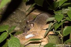 Leopoldamys sabanus (Long-tailed Gient Rat) (GeeC) Tags: animalia cambodia chordata kohkongprovince leopoldamys leopoldamyssabanus longtailedgiantrat mammalia muridae murinae myomorpha nature ratsandmice rodentia tatai gallery