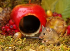 Mouse inside a apple autumn display (11) (Simon Dell Photography) Tags: wild mouse garden house log pile moss mossy wildlife nature animal rodent cute funny awesome colorfull high detail uk old english country card poster display autumn fall seasonal christmas design simon dell photography sheffield new fruits with berrys berries nuts acorns eye facing camera looking you george