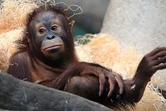 chillin' (LotusMoon Photography) Tags: orangutan young animal primate zoo wildlife captivity brookfieldzoo tropicworld annasheradon lotusmoonphotography ape apes