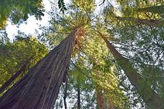 Trillium Falls Trail #5 (Randy Gardner 88) Tags: trilliumfallstrail prairiecreekredwoodsstatepark redwood redwoods redwoodtrees redwoodnationalandstateparks redwoodpark humboldt humboldtcounty humboldtcountycalifornia california trees ferns trail trails trillium