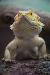 Lizard. (PeteMartin) Tags: artis lizard reptile zoo amsterdam netherlands nld