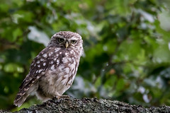 Little Owl (PINNACLE PHOTO) Tags: littleowl bird athenenoctua strigidae day dawn dusk feathered small cute stare birdofprey hunter fast pretty beak owl martinbillard wildlife uk canon 7dii sigma150600 600mm
