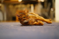 Go for it... (DizzieMizzieLizzie (Down for a while)) Tags: abyssinian aby lizzie dizziemizzielizzie portrait cat feline gato gatto katt katze kot meow pisica sony neko gatos chat fe ilce 2018 ilce7m3 a7iii pose classic pet golden bokeh dof animal zeiss planar t 50mm f14 za go blur