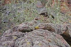 Canyon Wren (Boulder Flying Circus Birders) Tags: canyonwren catherpesmexicanus canyonwrencolorado canyonwrenboulder wildbirdboulder wildbirdcolorado boulderflyingcircusbirders freebirdwalk saturdaymorningbirders bouldercounty colorado stevefrye