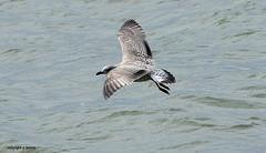 J78A0864 (M0JRA) Tags: birds flight flying wildlife rats walks gardens parks fields trees lakes ponds ducks swans rspb
