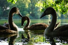 quiet encounter (a n t j e) Tags: swan schwan
