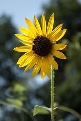 Sunflower (Jason-McFadden) Tags: flower sunflower yellow nature plant
