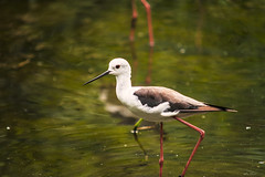 CAVALIERE D' ITALIA    ----    BLACK-WINGET STILT (Ezio Donati is ) Tags: uccelli birds anumali animals acqua water natura nature parcpdelticino provinciapavia italia