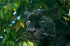 Panther (Aardwolf6886) Tags: panther blackpanther pantherapardus chengduzoo bigcat jungle leopard