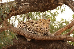 Leopard 4 (JH Byrne) Tags: leopard cat safari south africa mammal hunt hunter prey sabie river august 2018 wildlife wild byrne john animal female kruger cheetah crocodile