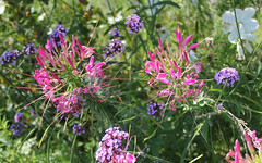 """Moscow, the Flowers (Cleome Hassleriana, Cleomaseae) in the Central Park of Culture and Leisure """"Gorky Park"""", Krymsky Val, Yakimanka district. (sacalevic) Tags: park moscow russia москва россия парк flowers nature природа столица цветы солнечныйдень sunnyday flower macro макро blossom blossoming цветение gorkypark паркгорького парккультуры centralpark центральныйпарк районякиманка yakimankadistrict flowerbed клумба krymskyval крымскийвал цпкио cleomehassleriana spiderflower grandfatherswhiskers cleome beeplants клеома клеомахасслера cleomaseae pinkqueen клеоме клеомовые клеомаколючая цветокпаук"""
