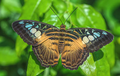 Clipper Butterfly (dianne_stankiewicz) Tags: butterfly wildlife nature insect clipper texture wings pattern design structure
