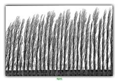 LES PLUMES // THE FEATHERS (régisa) Tags: brotonne arbre tree alignement analogy analogie ressemblance lelandin normandie feather plume