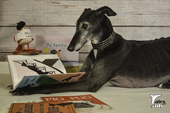 Lost In A Good Book (houndstooth4) Tags: dog greyhound flattery book reading dogchal ddc 3452 52weeksfordogs