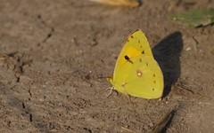 Souci - IMG_6316 (6franc6) Tags: papillon occitanie languedoc gard 30 milhaud août 2018 6franc6 vélo kalkoff vae