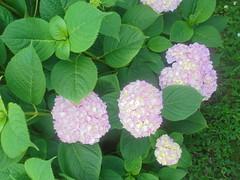 115 (en-ri) Tags: ortensie rosa cespuglio bush sony sonysti