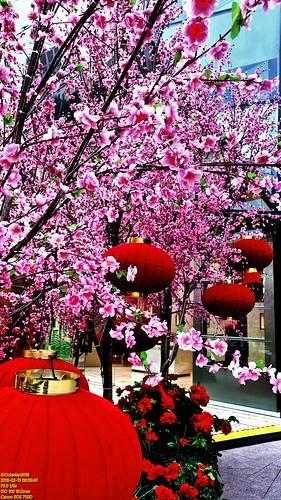 ..metropolis' cherry blossoms..