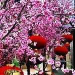 ..metropolis' cherry blossoms.. thumbnail