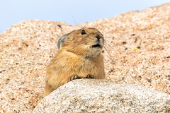 August 31, 2018 - A little Pika keeping watch. (Tony's Takes)