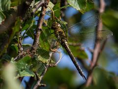 Migrant Hawker Dragonfly (ianrobertcole1971) Tags: migrant hawker dragonfly insect macro invertebrate nikon d7200 300mm f4 pf ed