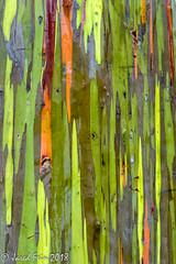 Eucalyptuses Tree Abstract (1) (SewerDoc (3 million views)) Tags: eucalyptuses hawaii kauai tree
