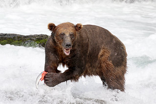 Bear..... and half a Salmon!
