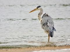 Heron (LouisaHocking) Tags: heron south west cornwall fowey bird british wild wildlife nature coast river water seabird