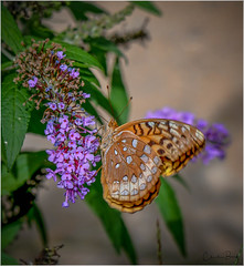 Great Spangled Fritillary (Summerside90) Tags: butterflies insects greatspangledfritillary august summer backyard garden nature wildlife ontario canada