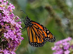 A Monarch of Butterflies (CVerwaal) Tags: butterflies centralpark insects newyork ny usa sonyrx100vi
