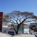 Our Sibipiruna, São Caetano do Sul, São Paulo, Brasil. thumbnail