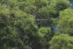 703_1875  林鵰  Indian Black Eagle (smalltsj) Tags: indianblackeagle canon7dii ictinaetusmalayensis 林鵰 稀有留鳥 第二級保育類