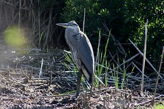 Great Blue Heron (rwkphotos) Tags: greatblueheron ardeaherodias novascotia canada